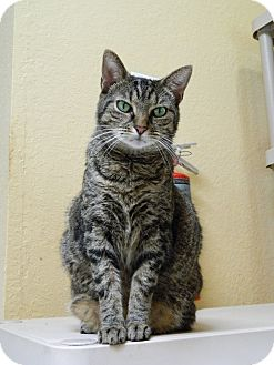 Domestic Shorthair Cat for adoption in Jupiter, Florida - Lillie