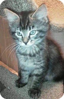 Domestic Shorthair Kitten for adoption in Floral City, Florida - Brown tabby kittens