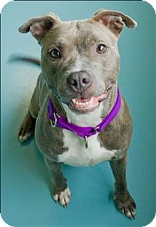 American Staffordshire Terrier Mix Dog for adoption in Portsmouth, Virginia - Precious