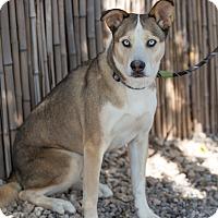 Adopt A Pet :: Kodi - Cedar Crest, NM