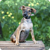 Adopt A Pet :: Bettie in CT - Manchester, CT
