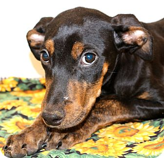 Doberman Pinscher/Shepherd (Unknown Type) Mix Puppy for adoption in Glastonbury, Connecticut - Aberdeen~meet me~