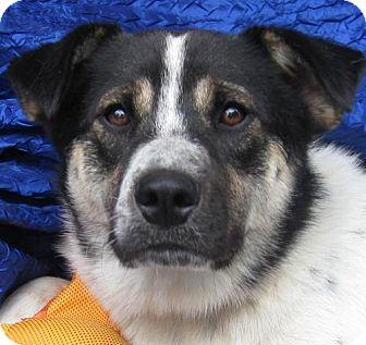 Norwegian Elkhound/Shepherd (Unknown Type) Mix Dog for adoption in Cuba, New York - Dalton Lancer