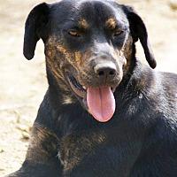Labrador Retriever/Hound (Unknown Type) Mix Dog for adoption in Hagerstown, Maryland - Susan