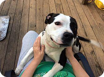 American Bulldog/Pit Bull Terrier Mix Dog for adoption in Woodstock, Georgia - Georgia