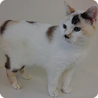 Manx Cat for adoption in Cloquet, Minnesota - Sophia