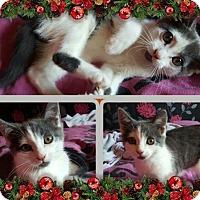 Adopt A Pet :: Kitties - Lima, PA