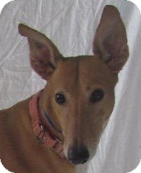 Greyhound Dog for adoption in Swanzey, New Hampshire - Mariah