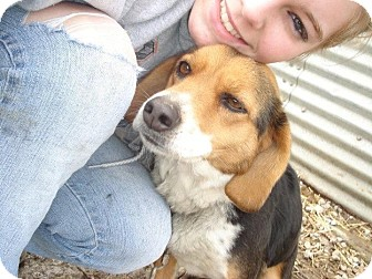 Australian Shepherd/Beagle Mix Dog for adoption in Carey, Ohio - KATIE