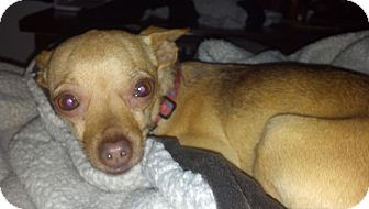 Chihuahua Mix Dog for adoption in Seattle, Washington - Sandy