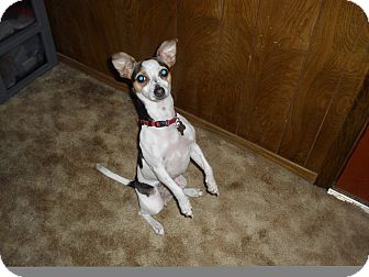 Rat Terrier Mix Dog for adoption in Kingwood, Texas - Rami