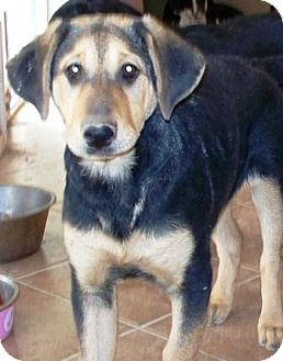 German Shepherd Dog/Labrador Retriever Mix Puppy for adoption in Gilbert, Arizona - Missey