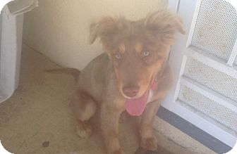 Australian Shepherd Mix Dog for adoption in Oceanside, California - Ozzie