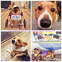 Adopt A Pet :: Rotti - North Hollywood, CA