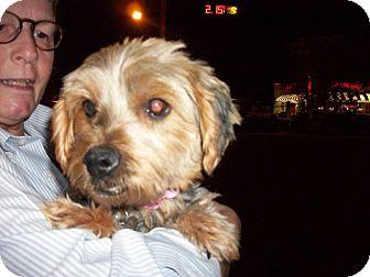 Yorkie, Yorkshire Terrier Dog for adoption in DAYTON, Ohio - Spiro
