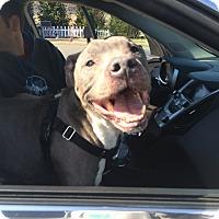Adopt A Pet :: Bookey - Newtown, CT