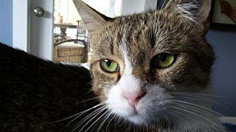 Domestic Shorthair Kitten for adoption in Satellite Beach, Florida - Pinkerton