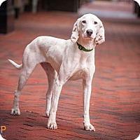 Adopt A Pet :: Saydee - Alexandria, VA