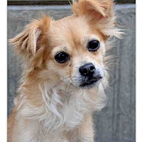 Adopt A Pet :: Holly GoLightly - Los Angeles, CA