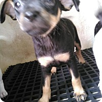 Adopt A Pet :: ALINA - San Antonio, TX