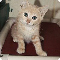 Domestic Shorthair Kitten for adoption in Grinnell, Iowa - Massey Purrgason