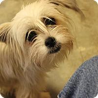 Adopt A Pet :: Miss Moffet - Brattleboro, VT