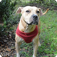 Labrador Retriever/American Staffordshire Terrier Mix Dog for adoption in Lake Pansoffkee, Florida - Tabi