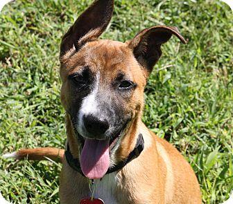 Boxer/German Shepherd Dog Mix Puppy for adoption in Joplin, Missouri - Tred