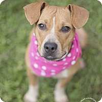 Black Mouth Cur/Patterdale Terrier (Fell Terrier) Mix Puppy for adoption in Seattle, Washington - Quinn