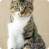 Domestic Shorthair Cat for adoption in Oklahoma City, Oklahoma - Gracie