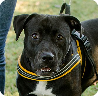 Boxer/Hound (Unknown Type) Mix Dog for adoption in Greenwood, South Carolina - Willow