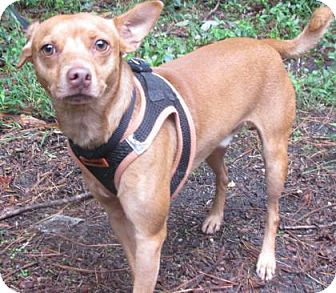 Miniature Pinscher/Terrier (Unknown Type, Small) Mix Dog for adoption in Voorhees, New Jersey - Shakey