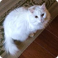 Adopt A Pet :: Miss Kitty - Denver, CO