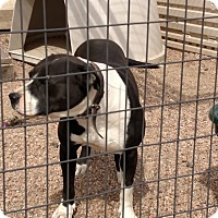 American Staffordshire Terrier/Boxer Mix Dog for adoption in Black Forest, Colorado - Suz