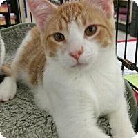 Domestic Shorthair Kitten for adoption in MARENGO, Illinois - Bobby