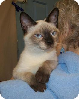Siamese Kitten for adoption in Picayune, Mississippi - Buddy