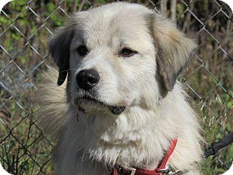 Great Pyrenees Mix Dog for adoption in Kiowa, Oklahoma - Papa Bear