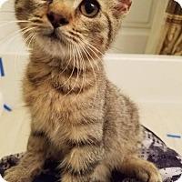 Domestic Mediumhair Kitten for adoption in Odessa, Texas - Nash