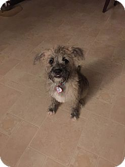 Schnauzer (Miniature)/Terrier (Unknown Type, Small) Mix Puppy for adoption in Laurel, Maryland - Bash