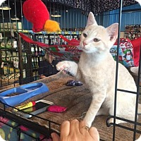 Domestic Shorthair Cat for adoption in Burlington, North Carolina - BELFIRE