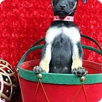 Adopt A Pet :: BONGO - Westminster, CO