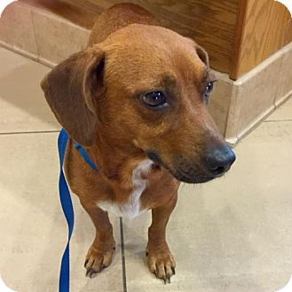 Dachshund Dog for adoption in Houston, Texas - Zuzu Bailey