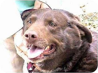 Akita/Labrador Retriever Mix Dog for adoption in Tyler, Texas - L-Hershey