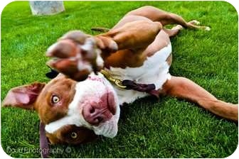 American Pit Bull Terrier Mix Dog for adoption in Mesa, Arizona - Siera