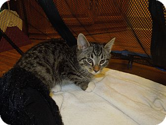 Domestic Shorthair Kitten for adoption in Medina, Ohio - Travis