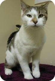 Domestic Shorthair Cat for adoption in Gary, Indiana - Tommy