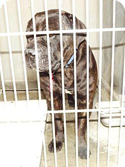 Mastiff Mix Dog for adoption in San Diego, California - Clemson URGENT