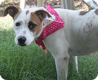 American Pit Bull Terrier Mix Dog for adoption in Lufkin, Texas - Dottie
