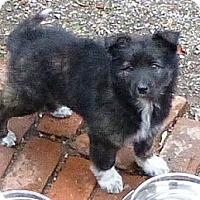Adopt A Pet :: Four Gorgeous Puppies - Hamilton, ON