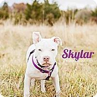 Adopt A Pet :: Skylar - Shrewsbury, NJ
